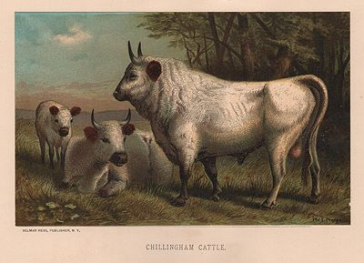 ORIG VINTAGE COLOR PRINT/ CHILLINGHAM CATTLEPrang, Louis - Product Image